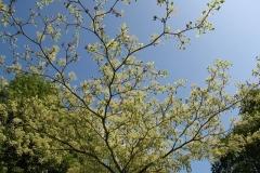 Pale leaves set against a rich blue sky at Holker Hall