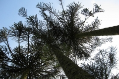 The monkey puzzle: trees at Holker Hall
