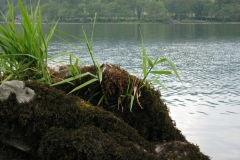 Plants grow on a rock at Howtown on Ullswater