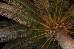 Petrovac palms