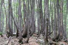 The trees of Ostanki Pragozda, Vogel