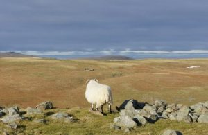 Decorative image of a sheep on a moor highlighting the sorts of images to be found in the links from this page.